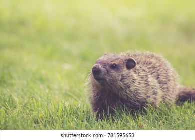 Young Groundhog (Marmota Marmox) looks adorable in green grass
