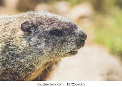 Young Groundhog (Marmota Monax) closeup in vintage settting