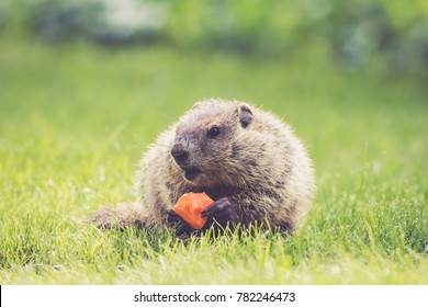 Young Groundhog (Marmota Monax) holding a half-eaten carrot sitting in the green grass in the morning at springtime