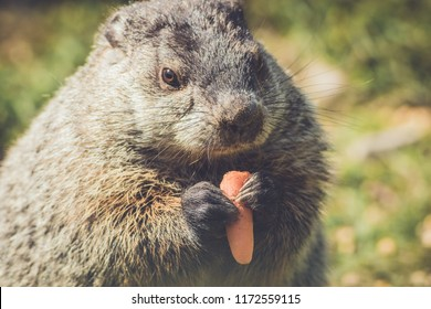 Young Groundhog (Marmota Monax) munches on a carrot in vintage settting