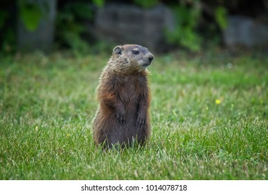 A young groundhog observing it's surrounding