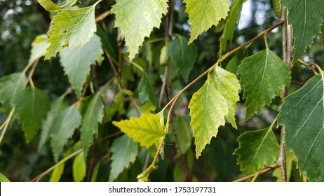 Young, growing, baby leaves of a birch tree in a bright green color.