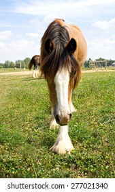A young Gypsy Vanner horse