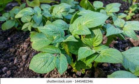 Young and hairy leafed potato plants in the spring sunshine.