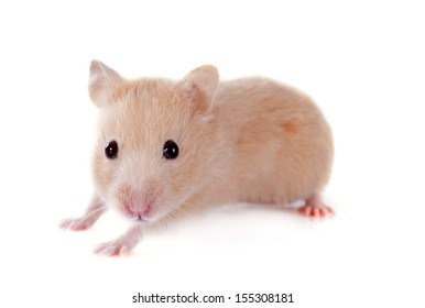 young hamster in front of white background