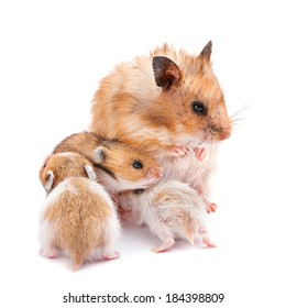 Young hamster with mom isolated on white