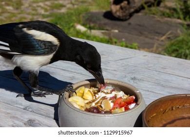 Young hand raised Magpie, depends to the Craw family, is eating a delicous meal, looking for the best.