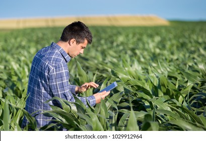 Young handsome agriculture engineer standing in corn field with tablet in early summer