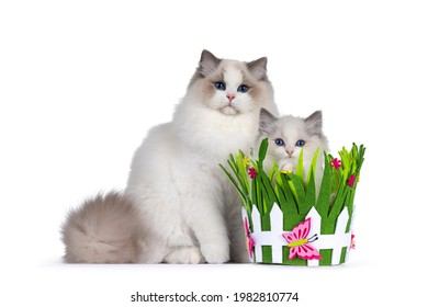 Young handsome bicolor Ragdoll cat, sitting side ways beside green felt basket filled with younger self. Both looking towards camera with deep blue eyes. Isolated on a white background.