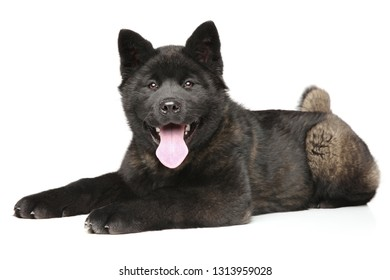 Young and happy American Akita puppy lying on white background