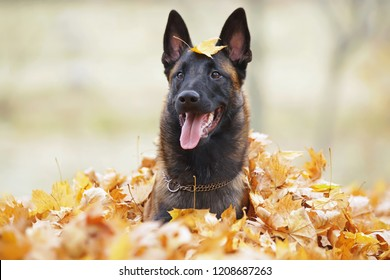 Young happy Belgian Shepherd dog Malinois lying down and posing in fallen maple leaves in the park in autumn