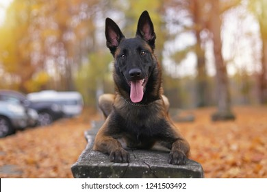 Young happy Belgian Shepherd dog Malinois with a chain collar lying outdoors on a wooden bench in autumn