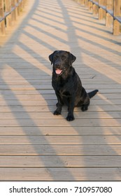 young happy black labrador sitting on a wood bridge at sunset. Pets outdoors. Fun and lifestyle