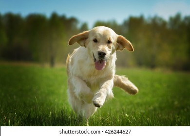 Young happy dog Golden Retriever with joy quickly runs across the grass, front view