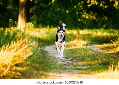 Young Happy Husky Eskimo Dog Runnig In Forest Lane Outdoor. Summer, Spring Season