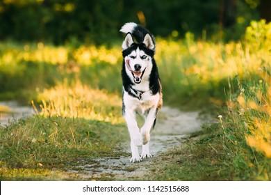 Young Happy Husky Eskimo Dog Runnig In Forest Lane Outdoor. Summer