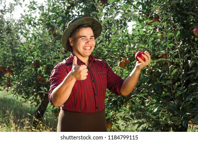 Young happy man in the garden collect ripe apples. The owner of apple orchard is pleased of harvest and shows okay.