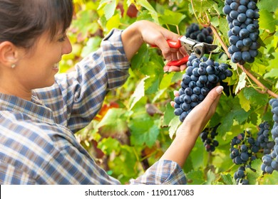 Young happy smiling woman picking bunches of ripe black grapes on the vines in a winery vineyard in a close up view of her hands and secateurs