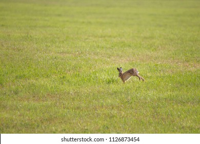 A young hare is hopping over a green mown meadow