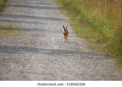 A young hare hops on a gravelly field path between meadows