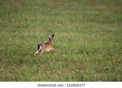 A young hare runs over a mown meadow