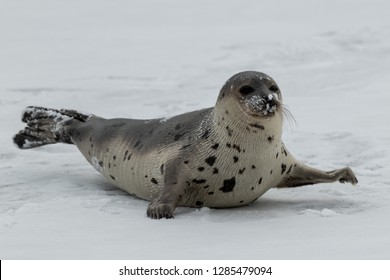 A young harp seal moves over ice and snow using its flippers with large claws. The saddleback seal has light color fur with dark spots, dark eyes and long whiskers. It is moving on its fat belly.