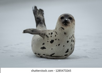 A young harp seal or saddleback seal lays on ice with its front flipper pointing to the left. It looks comical as if it is pointing towards something. Its eyes are dark and its nose is heart shaped.