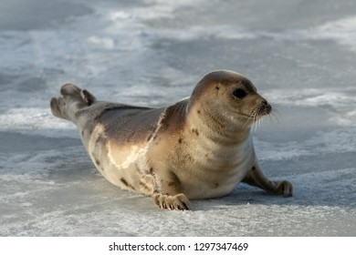 A young harp seal, saddleback seal, lays on the ice with the sun shining on its tan and brown fur coat. The young seal is on its front flippers and has long whiskers, dark eyes and cut appearance.