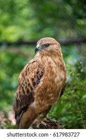 A young hawk sits and examines its territory.