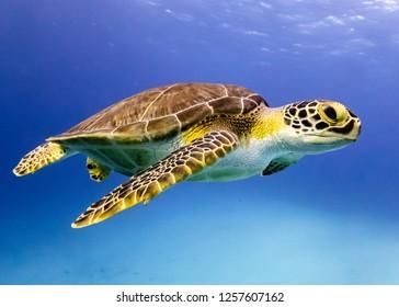 Young Hawksbill Turtle cruising along in Nassau!