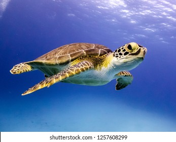 Young Hawksbill Turtle swimming along in Nassau, Bahamas.
