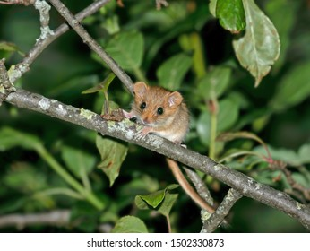 Young Hazel dormouse  (Muscardinus avellanarius) in the forest