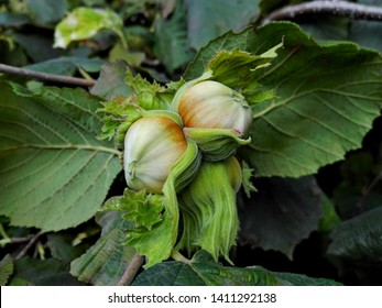 Young hazelnut (filbert, cobnut) grow on tree. Green hazelnut on organic nut farm. Hazelnuts or cobnuts with leaves in garden. Filbert plant grow & harvest concept. Hazel nut (Corylus avellana) tree