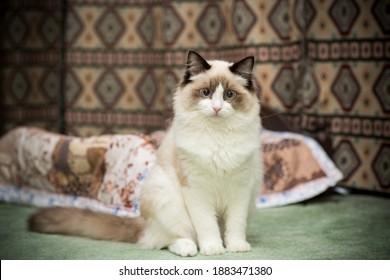 Young healthy beautiful purebred Ragdoll cat, at home