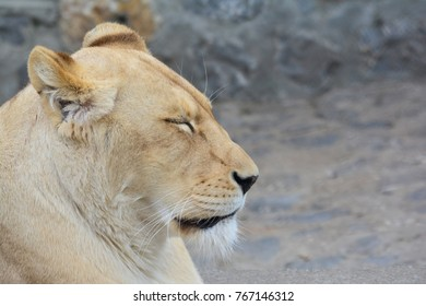 Young, healthy lioness taking a nap after a hard hunting, portrait, profile, against blured gray background