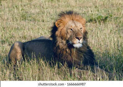 Young healthy male lion in the Serengeti
