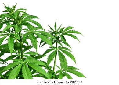 Young healthy marijuana plant isolated on white background