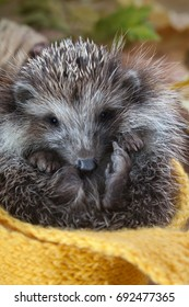 Young hedgehog in autumn leaves Wrapped in a scarf.