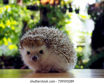 Young hedgehog bokeh background