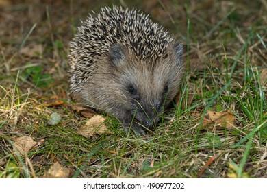 Young hedgehog in the garden
