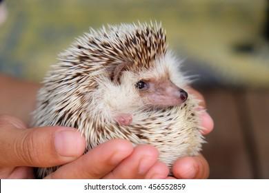 Young hedgehog in hands