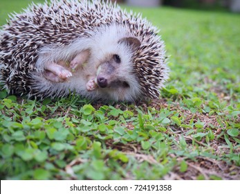 Young hedgehog in natural habitat ,hedgehog on the lawn