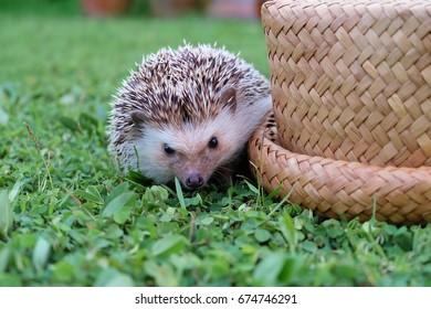 young hedgehog on a green meadow, hedgehog beside basket