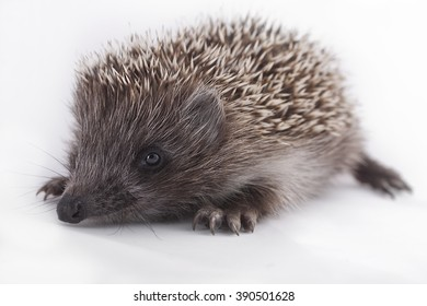 young hedgehog on natural background