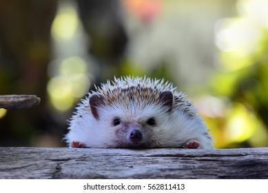 Young hedgehog on vintage log . Hedgehog bokeh  background .