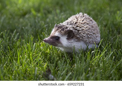 A young hedgehog outside in the grass