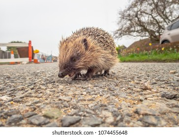 Young hedgehog seen from ground level crossing a village road near some road works.