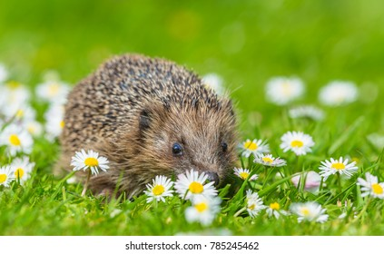 Young Hedgehog in Springtime.  Native, Wild European hedgehog in green grass and white and yellow daisies.  Hedgehog is facing forward. Blurred, bright green background. Landscape.