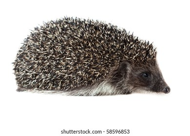 Young hedgehog in studio on the white background, isolated.