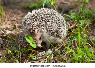Young hedgehog in their natural habitat